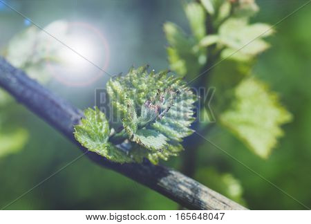 Young green tender shoots and leaves of grapes on the vine in the spring, blue tone,