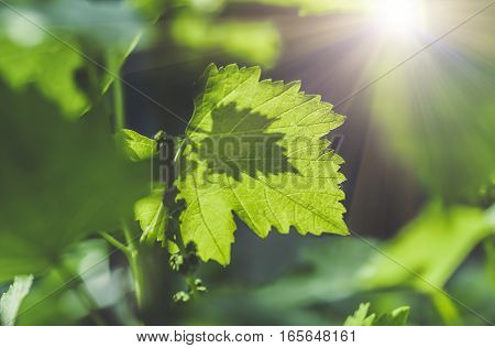 gentle young green grape leaves in the spring, closeup, blue tone, natural background