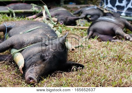 Live pigs prepared for devoting during the funeral in the region Tana Toraja in Indonesia