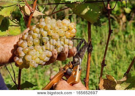 Wine grapes and secateurs in farmer's hands. Yellow-green bunch at the sunny ecological vineyards during harvest.