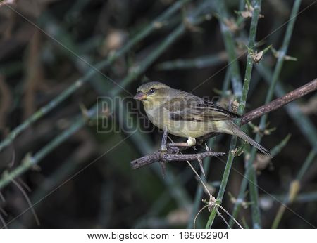 Female Plain-backed Sparrow (Passer flaveolus) with worms in her mount in nature of Thailand