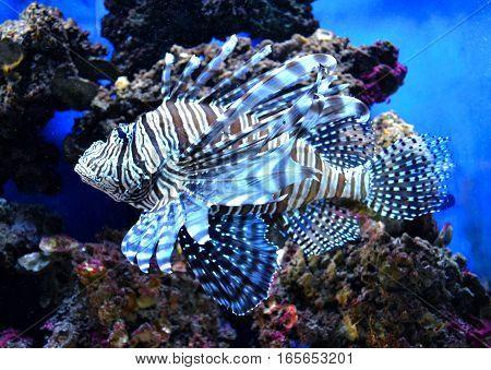 Pterois volitans. Red lionfish (Pterois volitans) aquarium fish a venomous coral reef fish