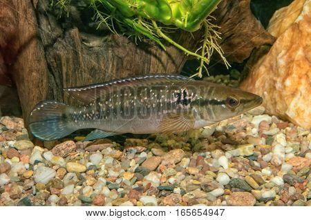 Portrait Of Cichlid Fish (crenicichla Saxatilis)