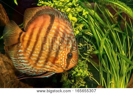 Portrait Of Discus Fish (symphysodon Discus)