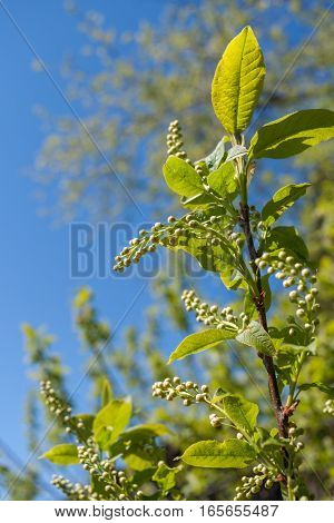 Close-up green bird-cherry branch with unopened buds in spring on blue sky background.