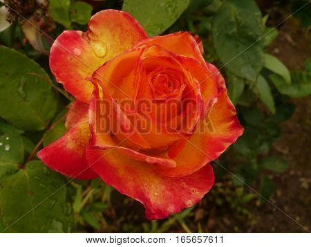 close up view of a peach and orange topped yellow rose after rain
