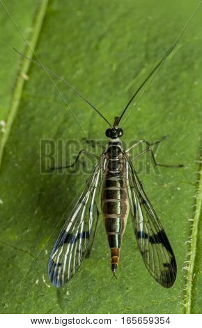 Scorpion Fly- scorpion fly Female on leaf