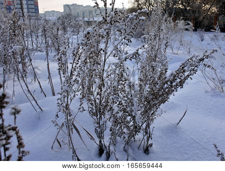 Frozen plant covered by snow and ice in winter on blurred urban background