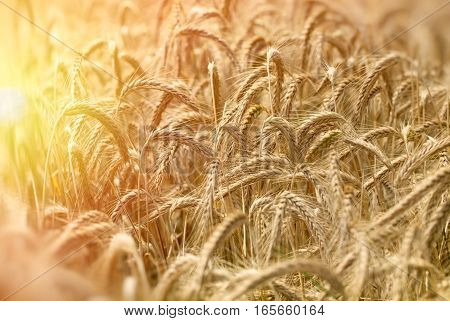 Field of wheat indicates a rich harvest - late afternoon in wheat field (sunset)