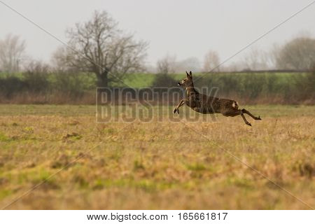 Female Roe Deer running across Field in British Countryside