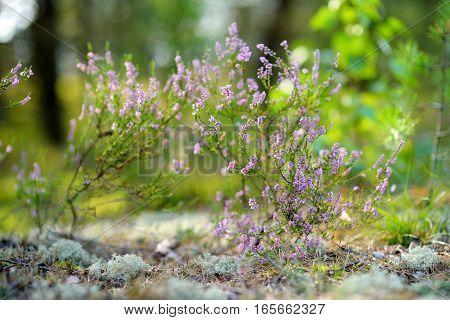 Detail Of A Flowering Heather Plant