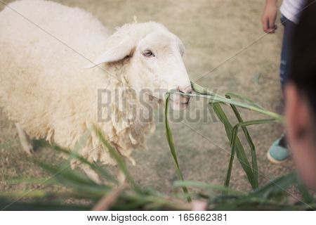 The white sheep with enjoy eating in farm at morning time.