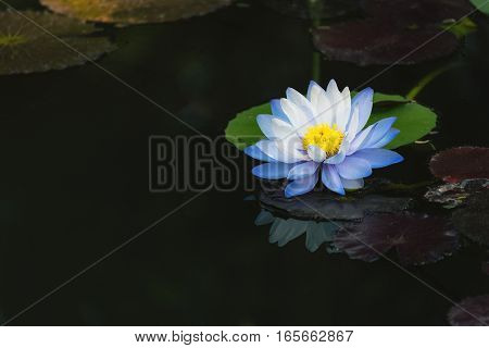 beautiful light blue lotus flower on deep blue water surface with vintage tone.