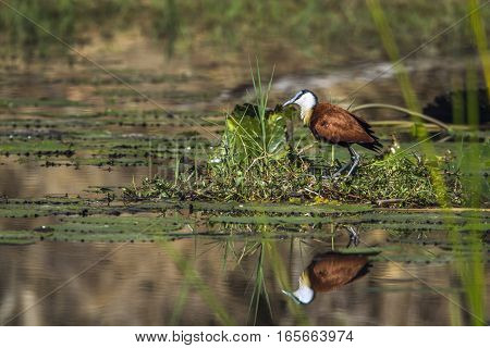 African jacana in Kruger national park, South Africa ; Specie Actophilornis africanus family of Jacanidae