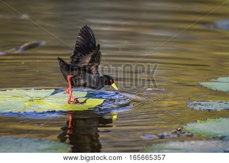 Black crake in Kruger national park, South Africa ; Specie Zapornia flavirostra family of Rallidae