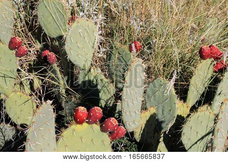 Cactus with fruits  in Saguaro botanical garden in America