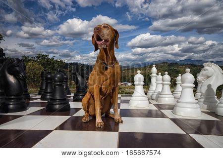 golden colour vizsla dog sitting on chess board