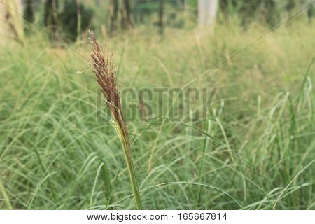 grass flowers in the nature at garden