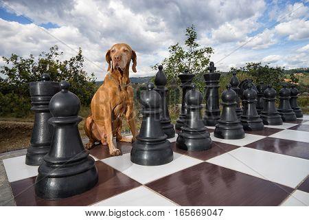 golden colour vizsla dog sitting on chess board outdoors
