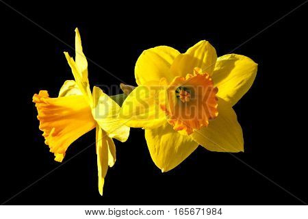 Daffodils in sunlight, front and side profile, black background