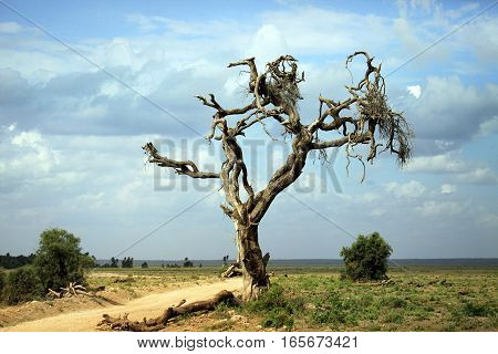 Dry tree in the African savannah. Amboseli national park in Kenia
