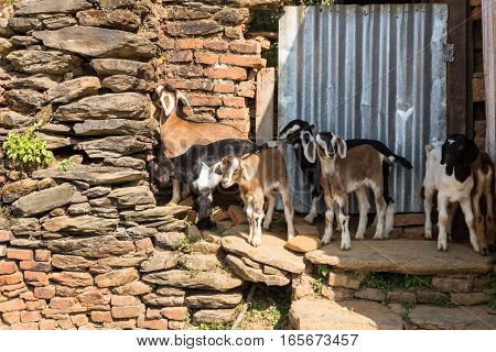 Several young goats standing near a stone wall Nepal