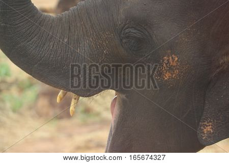 Baby elephant mouth wide open in forest