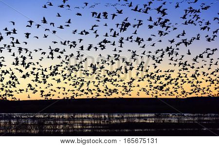 Flock of Snow Geese Flying over Pond at Sunrise