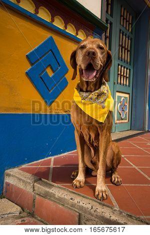 traveling golden vizsla  dog in Guatape Colombia