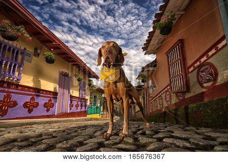 pure breed vizsla dog standing on cobblestone street with colonial buildings in the background in Guatape Colombia