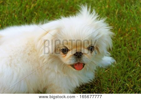 Portrait of nice and beautyl pekingese on grass