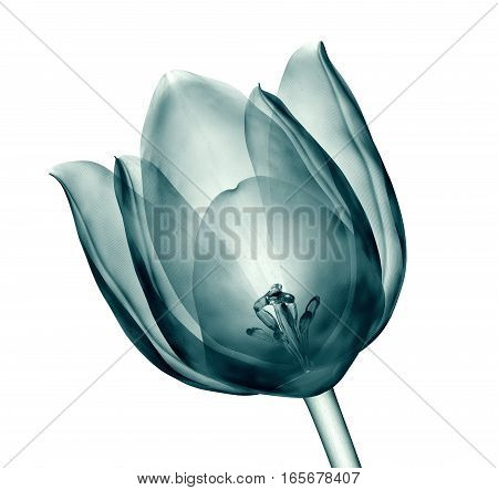 X-ray Image Of A Flower Isolated On White , The Tulip