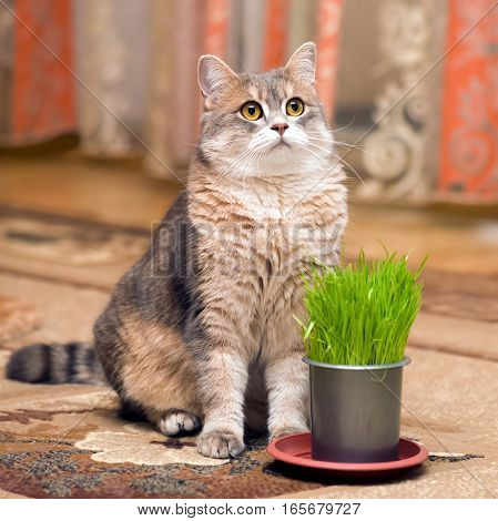 Cat and vitamin grass in a pot at home