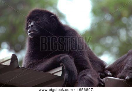 Orangutan lazily sitting on the roof