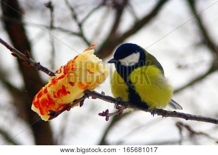 Great tit sits on the branch and eats the piece of bread