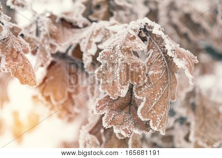 Branch Oak Tree With Dry Leaves In Snow