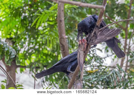 Beautiful black raven or Corvus corax is eating carrion