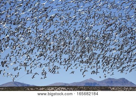 Thousands of Snow Geese Migrating in New Mexico