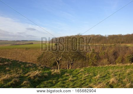a winter wooded valley with grazing pastures and hawthorn trees in a yorkshire wolds landscape under a blue cloudy sky with white cloud