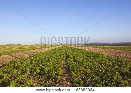 strips of mustard plants and straw stubble used for partridge cover in the hunting and shooting landscape of the yorkshire wolds under a clear blue sky in winter