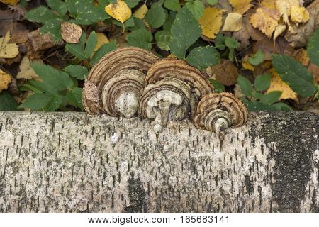 Mushrooms growing on the trunk of a birch autumn background