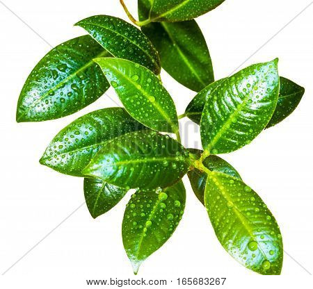 Ficus leaves with drops of water isolated on white background closeup