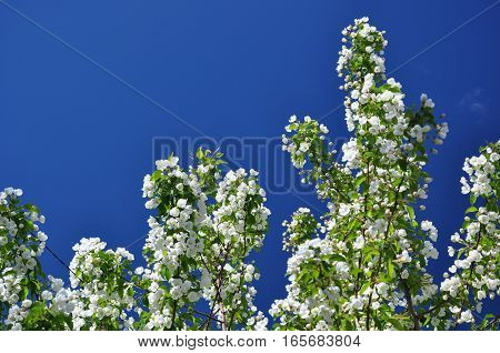 Blooming Apple Branches On Background Of Blue Sky