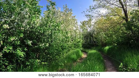 Road In The Forest Of Blooming Wild Apple Trees