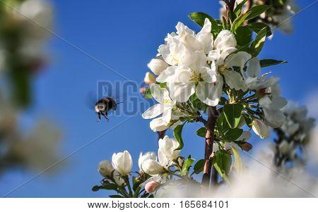 Bumblebee flying to blooming apple tree flower