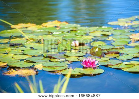 A beautiful pink waterlily or lotus flower in pond.