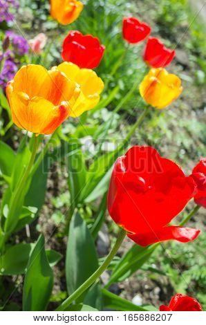 Tulip Flowers In Spring Garden