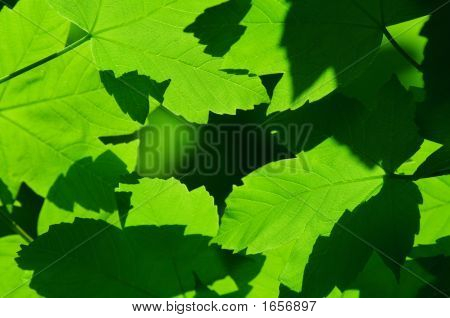 Close-up of green maple leaves as natural background. poster