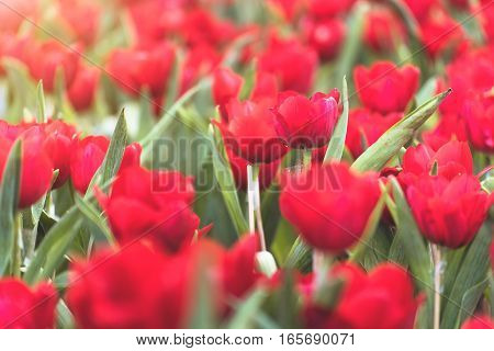 Beautiful bouquet of red tulips in spring season with flare of sunlight in morning