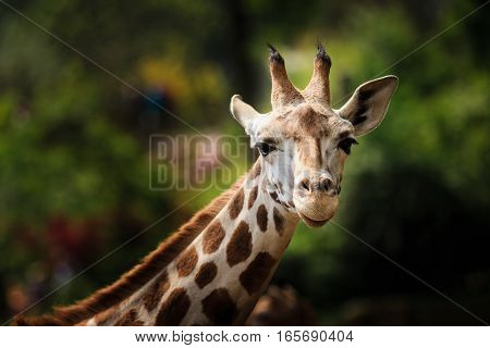 A closeup of giraffe looking straight into the camera